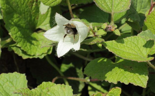 <b>Knoblauchraukenblättrige Glockenblume - <i>Campanula alliariifolia</i></b>