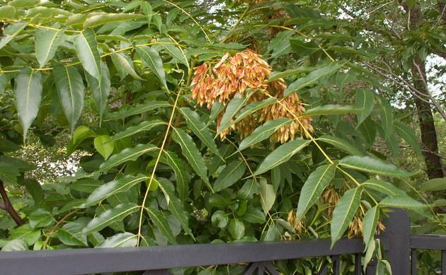 <b>Götterbaum - <i>Ailanthus altissima</i></b>
