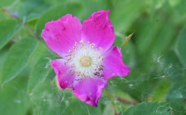 <b>Alpen-Heckenrose - <i>Rosa pendulina</i></b>