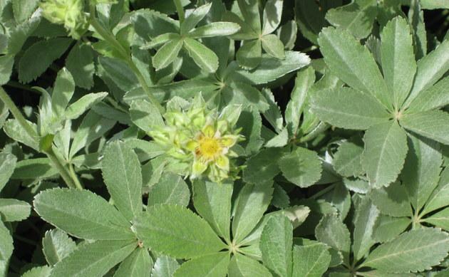 <b>Seealpen-Fingerkraut - <i>Potentilla valderia</i></b>