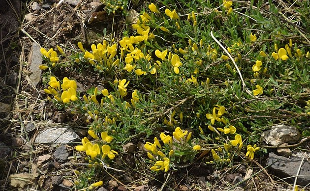 <b>Niederliegender Geißklee - <i>Cytisus decumbens</i></b>