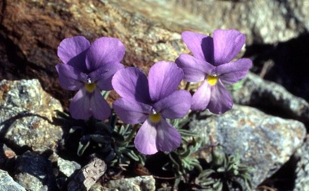<b>Valdieri-Veilchen - <i>Viola valderia</i></b>