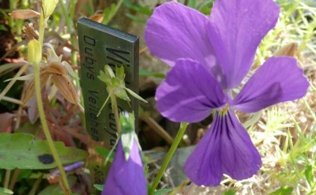 <b>Dubys Veilchen - <i>Viola dubyana</i></b>