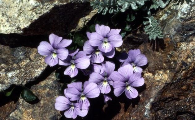<b>Pfennigblättriges Veilchen - <i>Viola nummulariifolia</i></b>