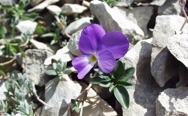 <b>Mont-Cenis-Veilchen - <i>Viola cenisia</i></b>