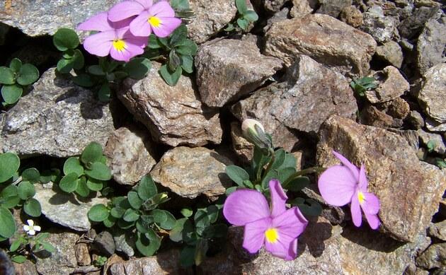 <b>Comollis Veilchen - <i>Viola comollia</i></b>