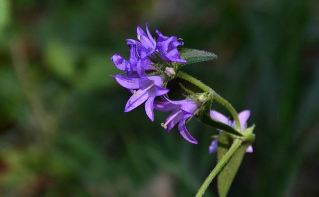 <b>Bologneser Glockenblume - <i>Campanula bononiensis</i></b>