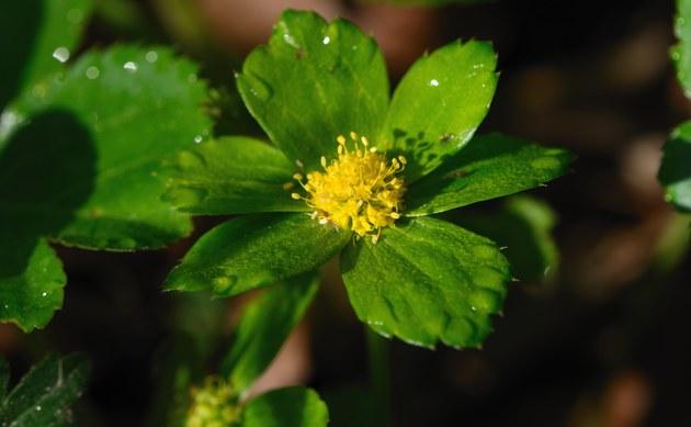 <b>Grüne Schafdolde - <i>Hacquetia epipactis</i></b>
