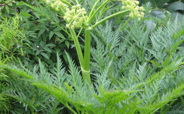 <b>Striemensame - <i>Molopospermum peloponnesiacum</i></b>