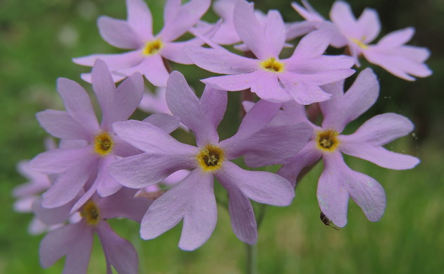 <b>Hallers Primel - <i>Primula halleri</i></b>