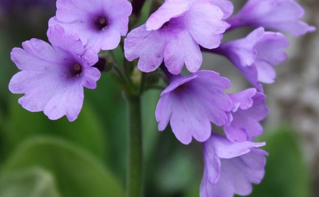 <b>Breitblättrige Primel - <i>Primula latifolia</i></b>