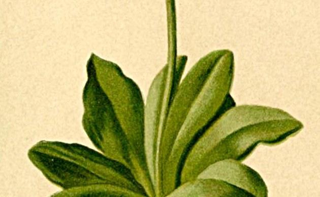 <b>Prachtprimel - <i>Primula spectabilis</i></b>