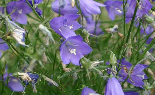 <b>Zwerg-Glockenblume - <i>Campanula cochleariifolia</i></b>