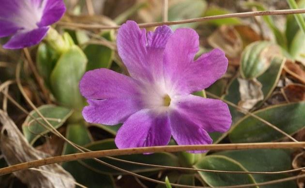 <b>Wulfens Primel - <i>Primula wulfeniana</i></b>