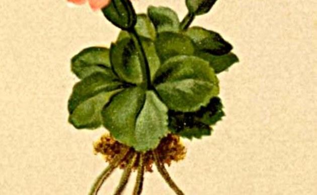 <b>Südtiroler Primel - <i>Primula tyrolensis</i></b>