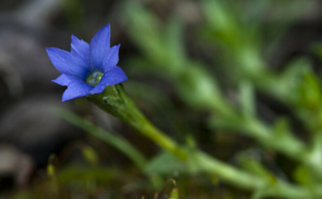 <b>Niederliegender Enzian - <i>Gentiana prostrata</i></b>