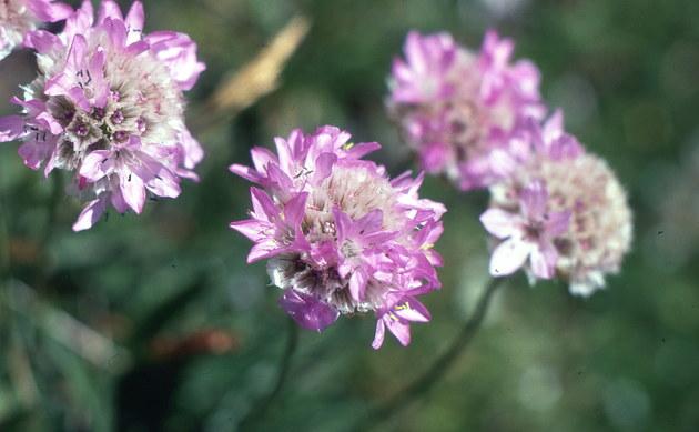 <b>Alpen-Grasnelke - <i>Armeria maritima ssp. alpina</i></b>