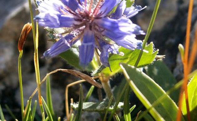<b>Blaues Mänderle - <i>Paederota bonarota</i></b>