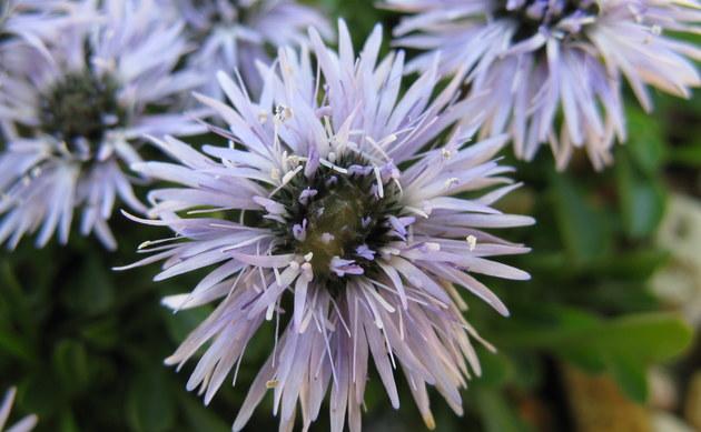 <b>Kriechende Kugelblume - <i>Globularia repens</i></b>