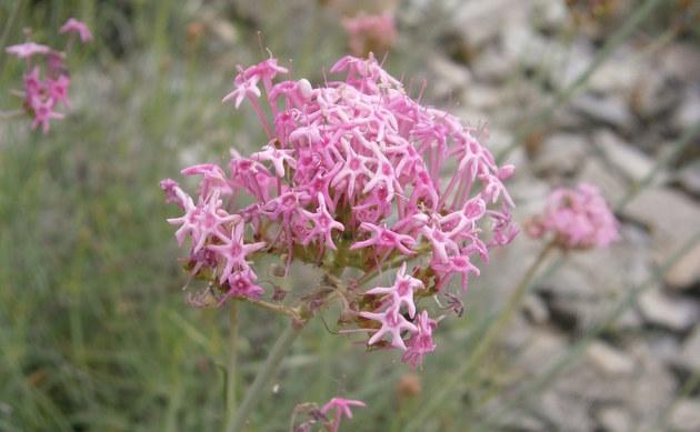 <b>Schmalblättrige Spornblume - <i>Centranthus angustifolius</i></b>