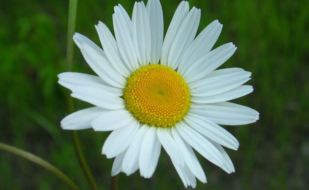<b>Magerwiesen-Margerite - <i>Chrysanthemum leucanthemum</i></b>