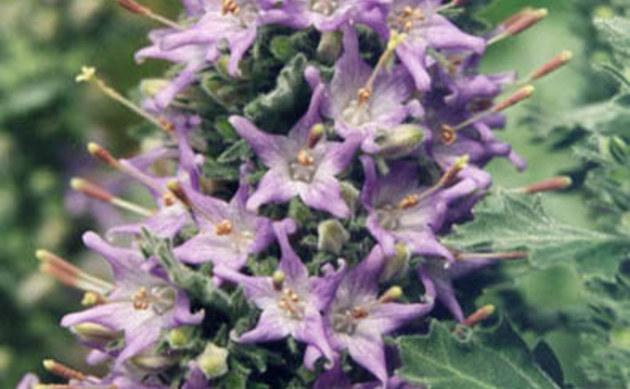<b>Lombardische Glockenblume - <i>Campanula elatinoides</i></b>
