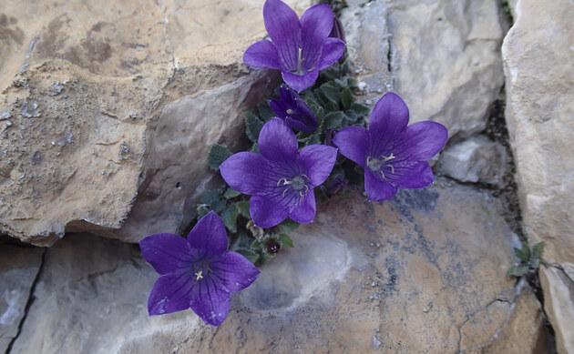 <b>Dolomiten-Glockenblume - <i>Campanula morettiana</i></b>
