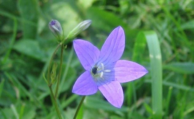 <b>Wiesen-Glockenblume - <i>Campanula patula</i></b>