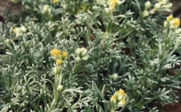 <b>Echte Edelraute - <i>Artemisia mutellina</i></b>
