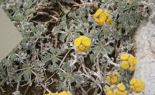 <b>Gletscher-Edelraute - <i>Artemisia glacialis</i></b>