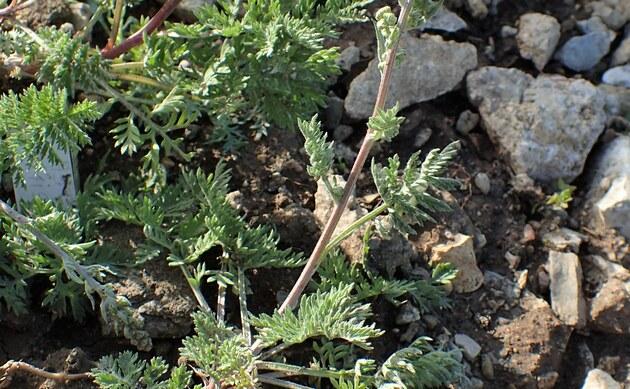 <b>Schwarzer Beifuß - <i>Artemisia atrata</i></b>
