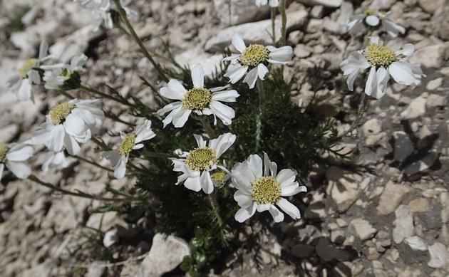 <b>Dolomiten-Schafgarbe - <i>Achillea oxyloba</i></b>