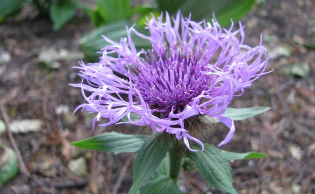 <b>Einköpfige Flockenblume - <i>Centaurea uniflora</i></b>