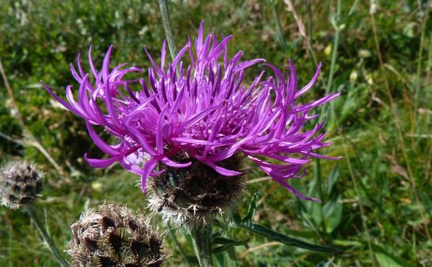 <b>Alpen-Flockenblume - <i>Centaurea alpestris</i></b>