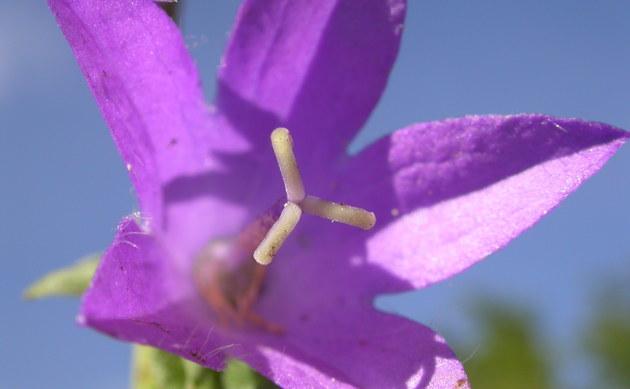 <b>Acker-Glockenblume - <i>Campanula rapunculoides</i></b>