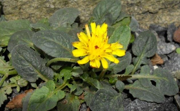 <b>Zwerg-Pippau - <i>Crepis pygmaea</i></b>