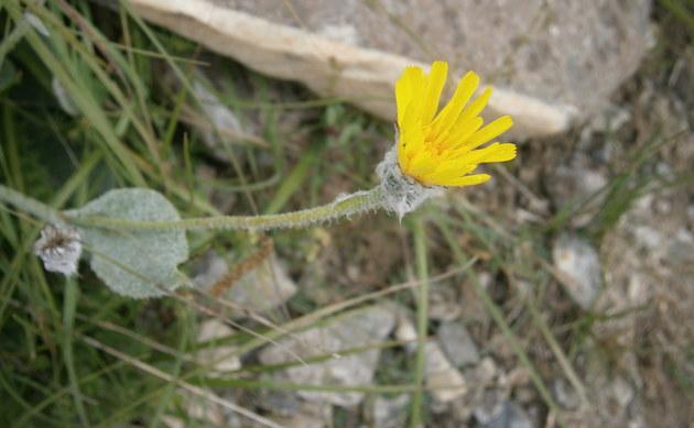 <b>Wolliges Habichtskraut - <i>Hieracium lanatum</i></b>