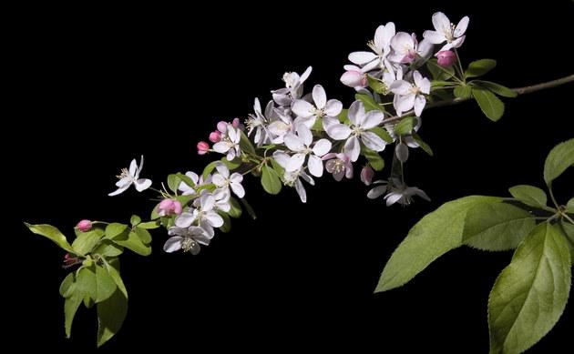 <b>Japanischer Wildapfel - <i>Malus floribunda</i></b>
