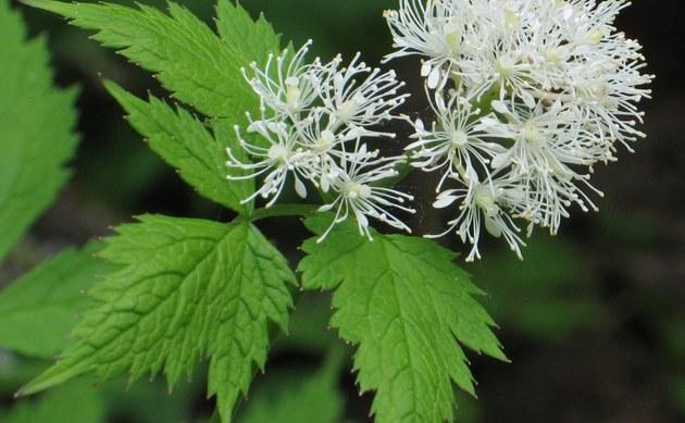 <b>Weißfrüchtiges Christophskraut - <i>Actaea rubra forma neglecta</i></b>