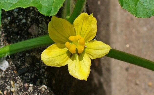 <b>Koloquinte - <i>Citrullus colocynthis</i></b>