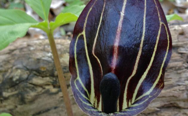 <b>Dreiblatt-Feuerkolben - <i>Arisaema triphyllum</i></b>