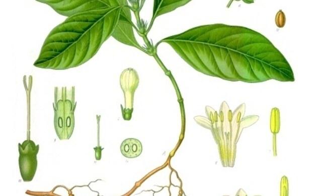 <b>Brechwurzel - <i>Cephaelis ipecacuanha</i></b>