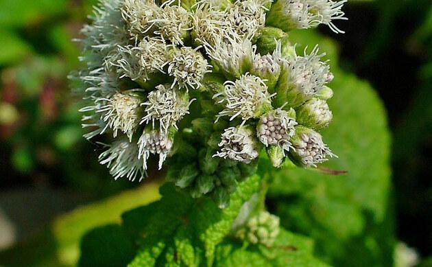 <b>Durchwachsener Wasserdost - <i>Eupatorium perfoliatum</i></b>