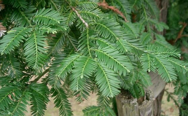 <b>Küsten-Mammutbaum - <i>Sequoia sempervirens</i></b>
