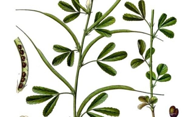 <b>Bockshornklee - <i>Trigonella foenum-graecum</i></b>