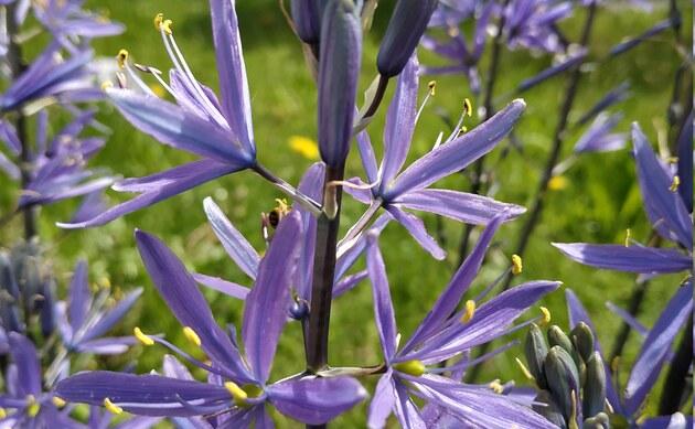 <b>Leichtlin-Prärielilie - <i>Camassia leichtlinii</i></b>
