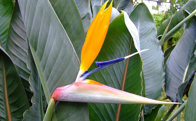 <b>Paradiesvogelblume - <i>Strelitzia reginae </i></b>
