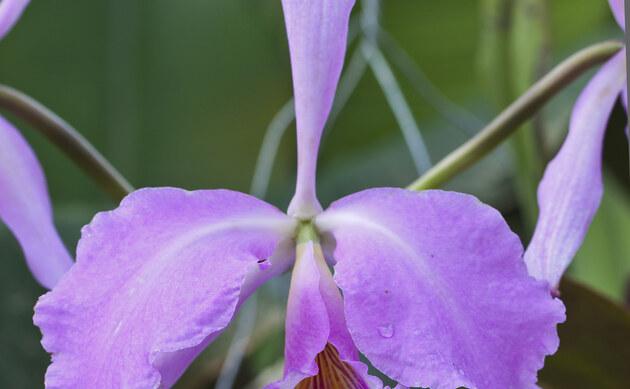 <b>Rubinlippen-Cattleya - <i>Cattleya labiata</i></b>