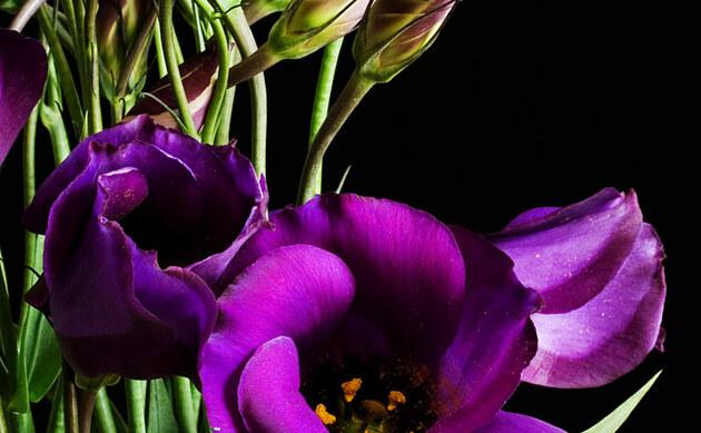 <b>Prärieglockenblume - <i>Eustoma russellianum</i></b>