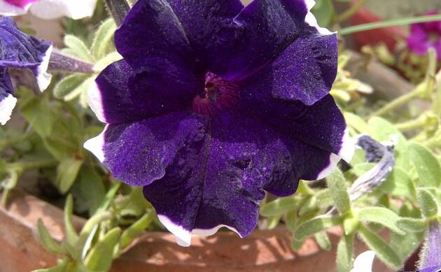 <b>Petunie - <i>Petunia x hybrida</i></b>